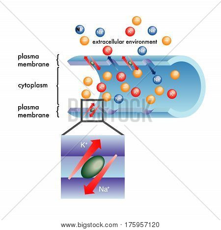 simple vector illustration of the plasma membrane functions