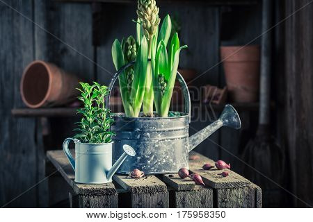 Freshly Grown Green Plants In An Old Wooden Shed