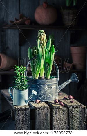 Planting Spring Flowers In An Old Wooden Shed