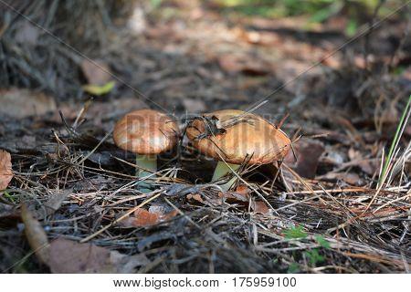Suillus is a genus of basidiomycete fungi in the family Suillaceae and order Boletales. Mushroom hunting mushrooming mushroom picking mushroom foraging gathering mushrooms.
