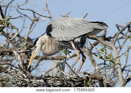 A Great Blue Heron, Ardea herodias at nest site in a rookery in Venice, Florida