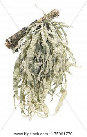 Lichen isolated on white background. Strap lichen (Ramalina)