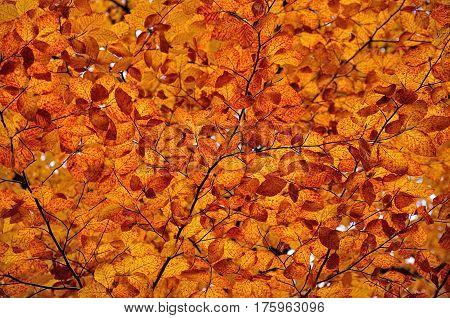 Orange autumn colored leaves maple leaf litter