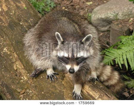 Raccoon in Zoo De Wissel in Epe-Holland poster