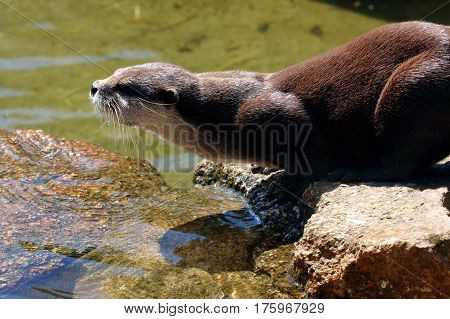 An otter perched on a rock about to leap off