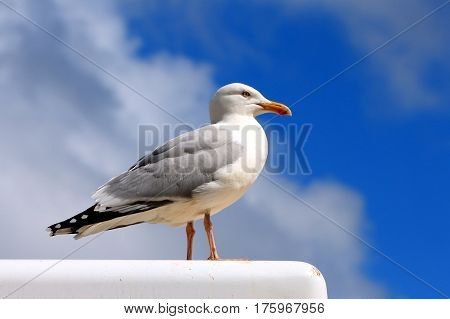 Herring gull stood aloft a vendors van
