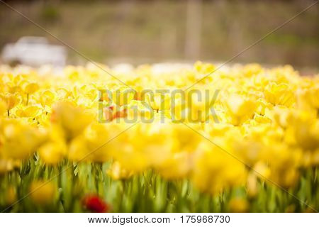 Beautiful yellow flowers in the field. Beautiful plant blossom