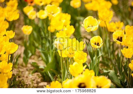 Gorgeous Yellow Flowers In The Field