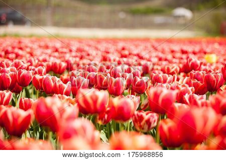 Beautiful Red Flowers In The Field