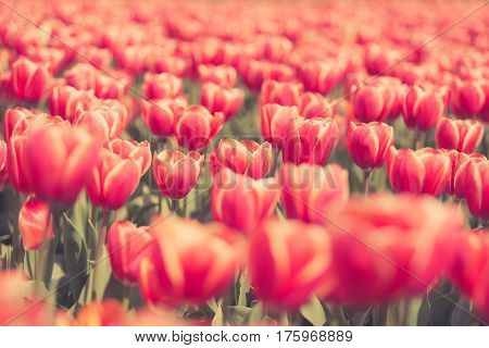 Gorgeous Red Flowers In The Field