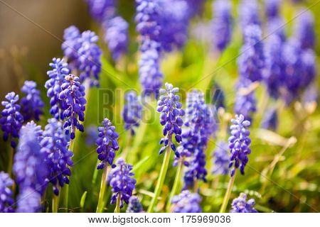 Beautiful Blue Flowers In The Field