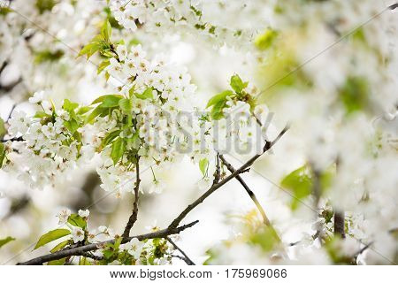 Beautiful Tree Flowers In Blossom