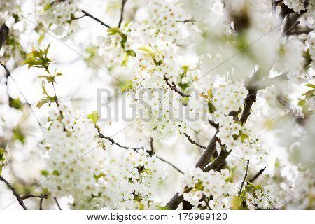 Tree branches in flowers in garden outdoor