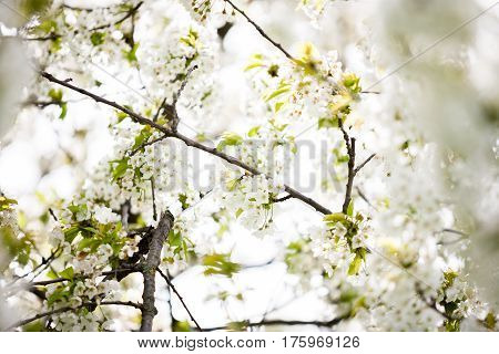 Tree Flowers Blossoming In Spring
