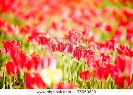 Beautifu Redl Flowers In The Field