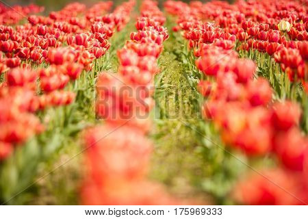 Red Beautiful Flowers In Field