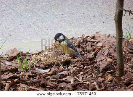 Photo of the great tit collecting material for a nest