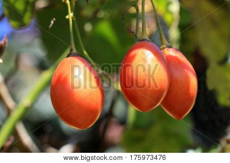 Cyphomandra betacea or tree tomato and known as tamarillo