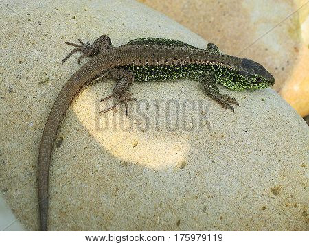 Little green lizard crawling on rocks and basking in the sun on a nice day
