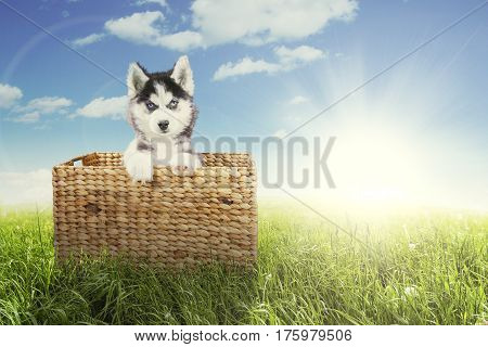 Picture of a Siberian husky puppy looking at the camera while sitting inside the wicker basket in the meadow