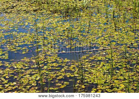 Reeds and leaves in a lagoon (Lagoons of Neila, Burgos, Spain)