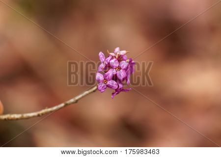 Flowers of a February daphne (Daphne mezereum)