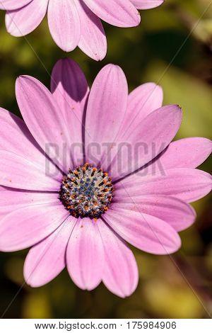 Macro Of African Daisy Osteospermum Ecklonis