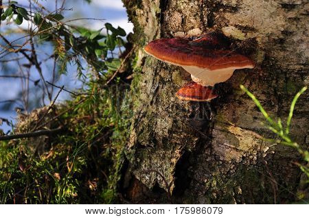 Tinder Fungus Growing On Stump. Closeup Scene Of Russian Forest