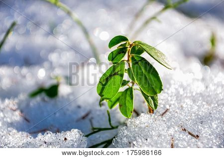 Cowberry Bush Surrounded By Snow. Lingonberry Macro Photo