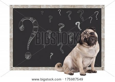 sweet smart pug puppy dog sitting in front of blackboard with chalk question marks isolated on white background