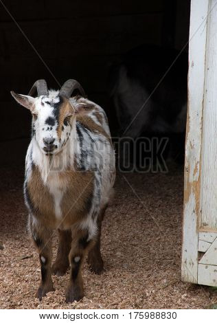 A tri-colored male pygmy goat exiting the barnyard door facing the camera. His black horns are curled against his head.