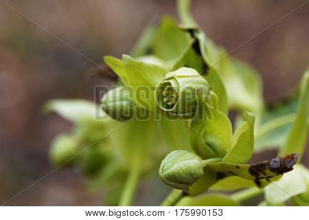 Blossoms of a stinking hellebore (Helleborus foetidus)