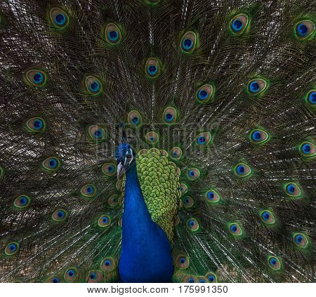 Close up of a peacock with feathers open displaying multiple eyes. The turquoise feathers on his body are iridescent. He is the camera.
