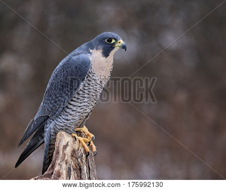 A Peregrine Falcon (Falco peregrinus) perched on a stump. These birds are the fastest animals in the world.