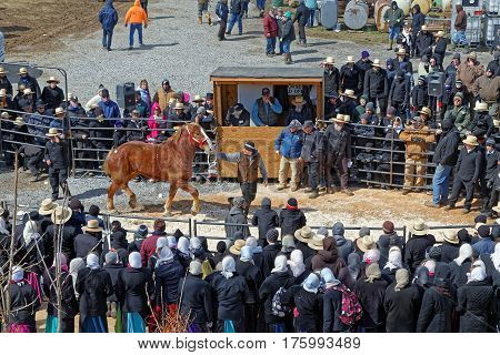 GORDONVILLE PENNSYLVANIA - March 11 2017: A horse for sale at the annual spring auction `Amish Mud Sale` to benefit the Fire Company. Sale items include quilts, antiques, crafts, food, sporting goods, tools, farm equipment and horses.