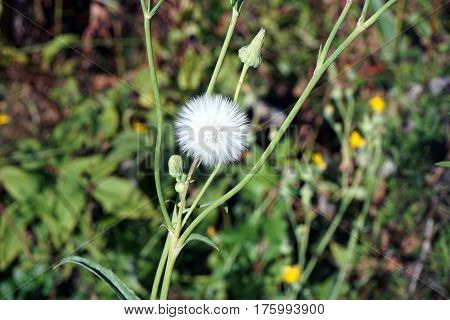 A seed head of the field sow thistle (Sonchus arvensis), also called corn sow thistle, dindle,gutweed, swine thistle, tree sow thistle, and field milk thistle, during September in Joliet, Illinois.