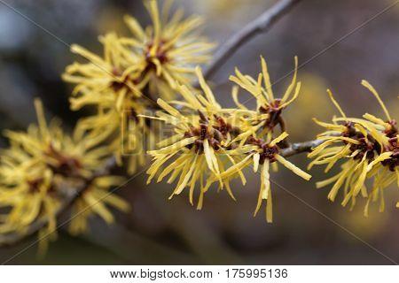 Flower of a Chinese witch hazel (Hamamelis mollis)