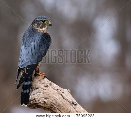 A profile shot of a Merlin (Falco columbarius) sitting on a branch.