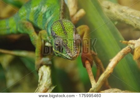 a closeup view of a green chameleon