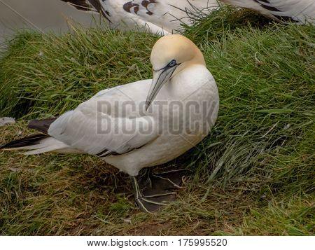 Closeup Of Eurasian Gannet Sea Bird At Bempton Cliffs In The United Kingdom