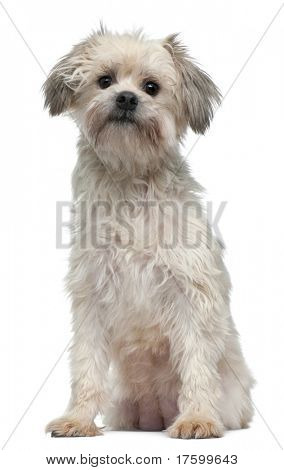 Petit Chien Lion, 3 years old, sitting in front of white background