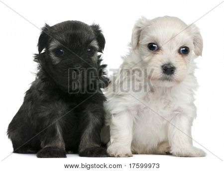 Lowchen or Petit Chien Lion puppies, 3 weeks old, sitting in front of white background
