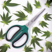 Trimming scissors with small cannabis leaves isolated over white background - medical marijuana concept poster