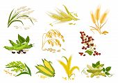 Cereals icons of grain plants. Vector wheat and rye ears, buckwheat seeds and oat or barley millet and rice sheaf. Isolated agriculture corn cob and legume beans or green pea pods farm crop harvest poster