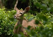 A big eared brown African deer hides in the lush green bush. poster