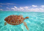 Green sea Turtle Chelonia mydas  Caribbean sea Cheloniidae water surface poster
