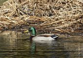 A male Mallard (Anas platyrhynchos), known as a drake, swimming on a pond in Carroll County Maryland, USA, shown in left profile. poster