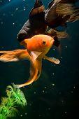 Tropical aquarium fish macro shot poster
