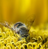Working bee collecting pollen from a dandelion poster