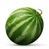 Single watermelon fruit close up. Raw melon isolated on white background. Qualitative vector illustration about watermelon agriculture fruits cooking food gastronomy etc poster
